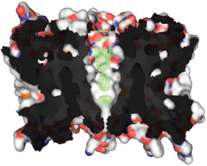 Aquaporin - The 3D structure of aquaporin Z highlighting the 'hourglass'-shaped water channel that cuts through the center of the protein