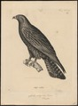 Aquila malayensis - 1700-1880 - Print - Iconographia Zoologica - Special Collections University of Amsterdam - UBA01 IZ18100205.tif