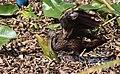 Aramus guarauna (Limpkin) 63.jpg