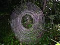 Araneidae web.jpg