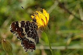 Araschnia.levana.2nd.generation.2.jpg