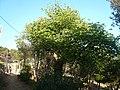 Arbre de l'amor del carrer Panorama P1500860.jpg
