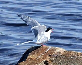 Arctic tern - An Arctic tern in Finland
