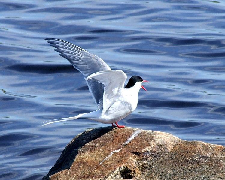 File:Arctic Tern 2006 06 08.JPG