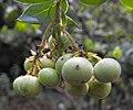 Arctocatalinae-fruit.jpg