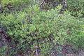 Arctostaphylos uva-ursi x unknown - Regional Parks Botanic Garden, Berkeley, CA - DSC04383.JPG