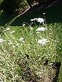 Arctotis grandis 'Blue-eyed daisy' (Compositae) plant.JPG