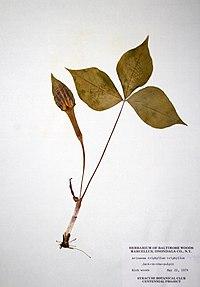 Arisaema triphyllum ssp. triphyllum BW-1979-0522-9873.jpg