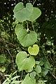 Aristolochia ringens 3801.jpg
