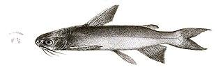 Veined catfish species of fish