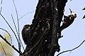 Arizona Woodpecker (male) Ft Huachuca AZ 2018-05-15 11-02-47 (32898070357).jpg