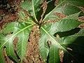 Artocarpus altilis കടപ്ലാവ്.jpg