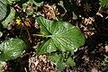 Arum maculatum leaf 3.jpg