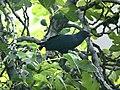 Asian Koel (Eudynamys scolopaceus) (20578392915).jpg