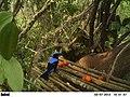 Asian fairy bluebird (Irena puella) at a feeding platform in Pakke tiger reserve.JPG