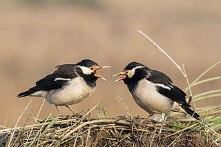 Pied myna Species of bird