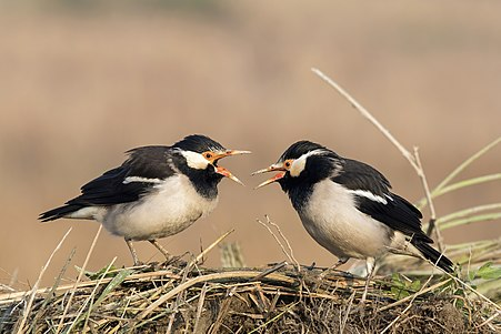 Asian pied starlings (Gracupica contra)