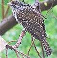 Asiatic Koel Female.jpg