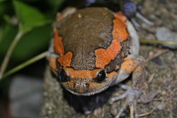 Asiatic Painted Frog (Kaloula pulchra) 花狹口蛙4.jpg
