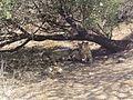Asiatic lions4.jpg