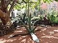 Asparagales - Agave americana - 7.jpg