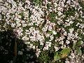 Asperula gussonii 01.jpg