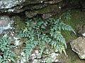 Asplenium montanum tuft.JPG