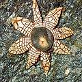Astraeus hygrometricus (Pers.) Morgan 561122.jpg