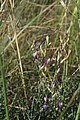Astragalus pallescens 43516020.jpg