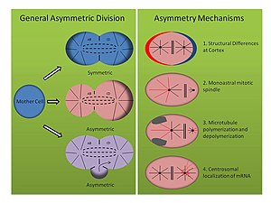 Asymmetric cell division - Asymmetric cell division is integral during development. In spiralia, the first cleavage can be either symmetric or asymmetric, as shown in the left panel. Asymmetry can be accomplished through simple unequal segregation of cell fate determinants across a single plane, through sequestration of cell fate determinants in a polar lobe which is absorbed by one of the daughter cells, or a combination of both processes. The right panel summarizes the mechanisms of spiralian asymmetric cleavage discussed here. Red features indicate the molecule(s) implicated in establishing asymmetry.