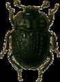 Atarphia fasciculata Jacobson.png