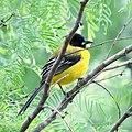 Audubon Oriole (25857239243).jpg