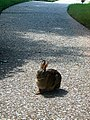 August 2- Texas Rabbit (1075112920).jpg