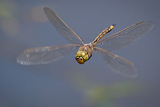 Motion camouflage - The Australian emperor dragonfly mimics the optic flow of its background using real-point motion camouflage to enable it to approach rivals.