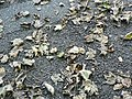 Autumn leaves, Abbey Road - geograph.org.uk - 267690.jpg