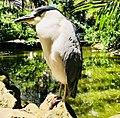 Aves de Santos SP.jpg