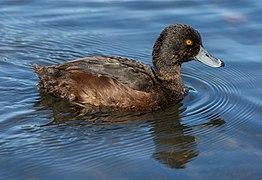 Aythya novaeseelandiae, Lake Victoria, Christchurch, New Zealand.jpg