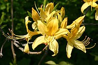 Azalea Flower RHS Wisley Garden Surrey UK.jpg