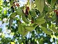 B. populneus fruto-6.JPG