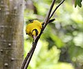 BLACK NAPED ORIOLE (8552556015).jpg
