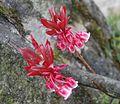 Ba Na flower - Hoa Dao Chuong.jpg