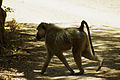 Baboon in Tsavo East (5232108287).jpg