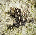 Baby Cane Toad. Rhinella marina (29004393628).jpg