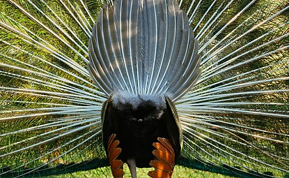 Back of Peafowl.jpg