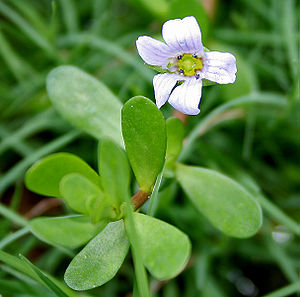Plantaginaceae - Bacopa monnieri in Hyderabad, India.