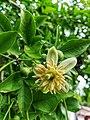 Bael fruit flower.jpg
