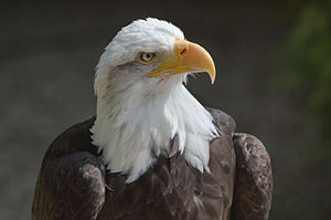 image of Bald eagle at the Hawk Conservancy Trust 2-2