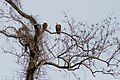 Bald eagles (19304929655).jpg