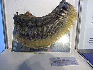 Bryde's whale - Baleen plate of Bryde's whale