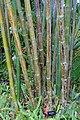 Bambusa oldhamii - McKee Botanical Garden - Vero Beach, Florida - DSC03266.jpg